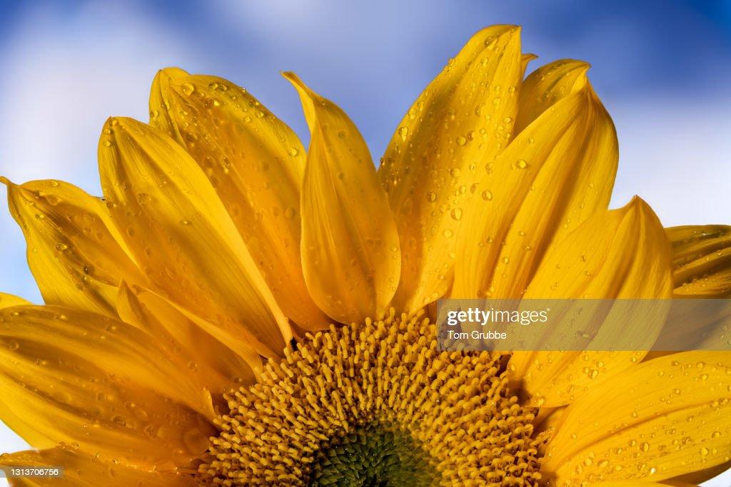 Sunflower Delight : Stock Photo