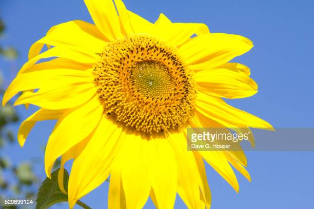 sunflower detail, door county penninsula, wisconsin. - vilas_county,_wisconsin stock pictures, royalty-free photos & images