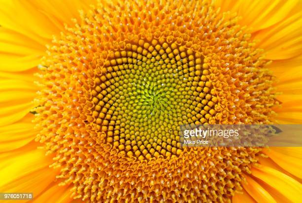 sunflower detail, fayetteville, arkansas, usa - girasoli foto e immagini stock