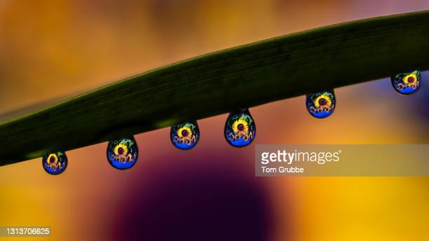 sunflower drops - tom grubbe stock pictures, royalty-free photos & images