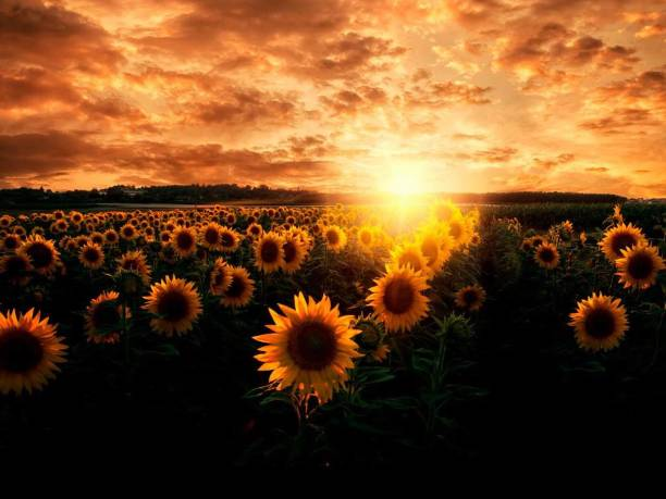 Sunflower field against cloudy sky during sunset