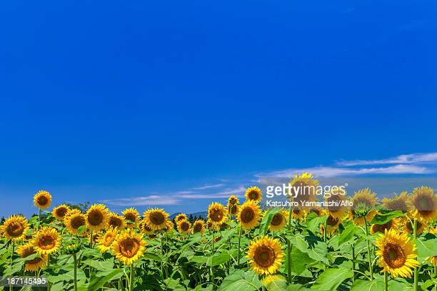 Sunflower field and sky