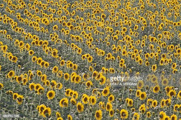 Sunflower field Asteraceae