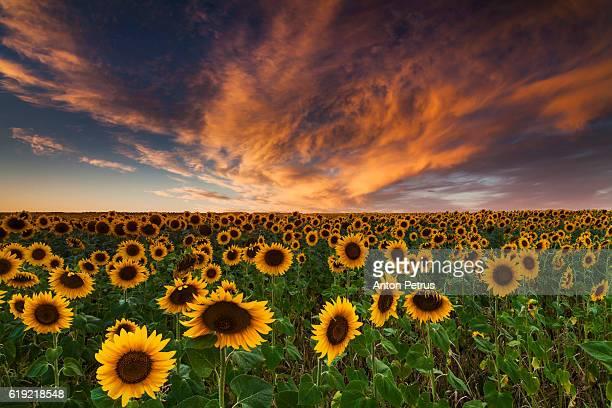 Sunflower field at beautiful sunset