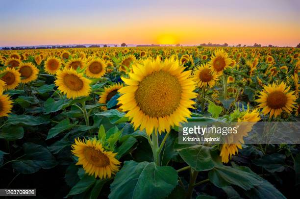 sunflower field at sunset - sunflower stock pictures, royalty-free photos & images