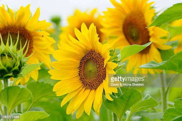 Sunflower field, Helianthus annuus, Franconia, Bavaria, Germany, Europe