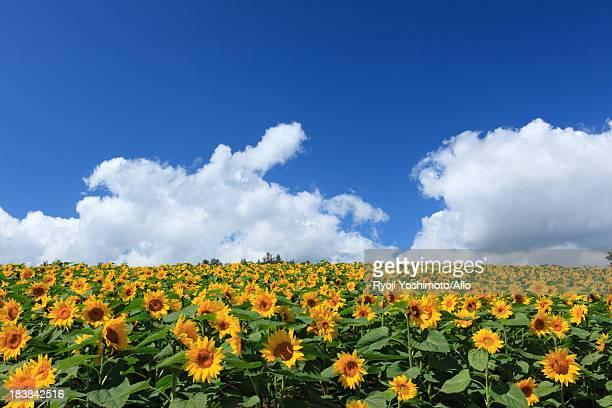 sunflower field, hokkaido - 八月 ストックフォトと画像