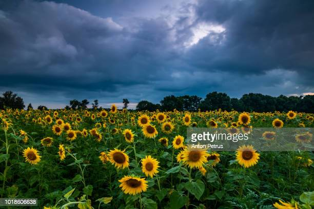 Sunflower field in cloudy weather with a stormy sky