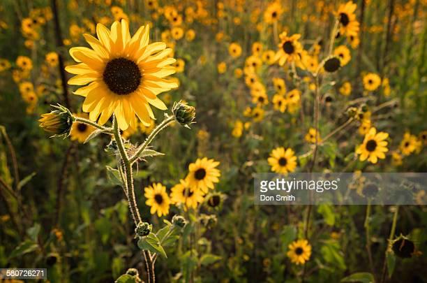 sunflower field in flagstaff - don smith foto e immagini stock