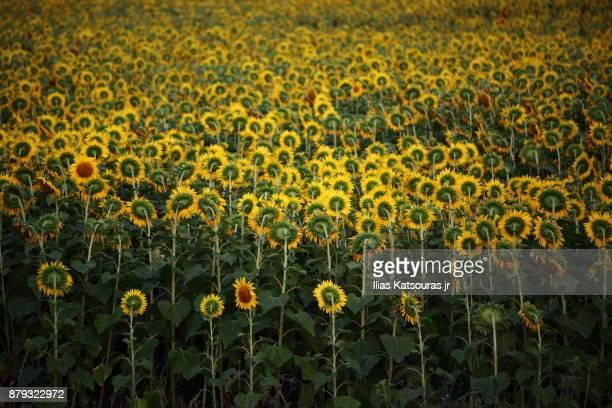 Sunflower field in Greece