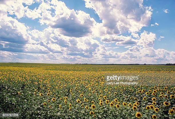 Sunflower Field in North Dakota