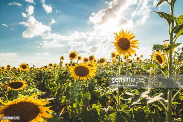 sunflower field in summer, texas, usa - girasoli foto e immagini stock