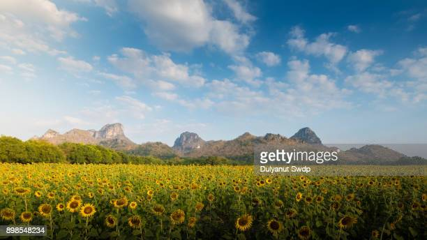 sunflower field in the summer. - helianthus stock photos and pictures