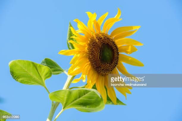 sunflower field landscape - agosto foto e immagini stock