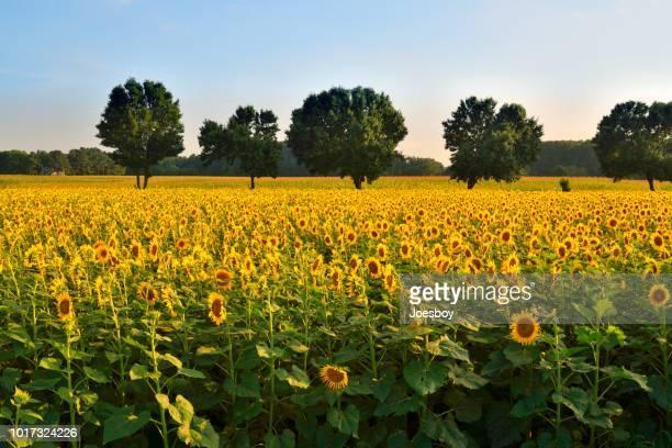 sunflower field landscape sunset - agosto foto e immagini stock