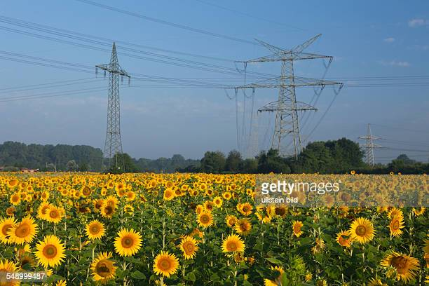 Sunflower Field near Electricity Pylons Helianthus annuus Munich Bavaria Germany