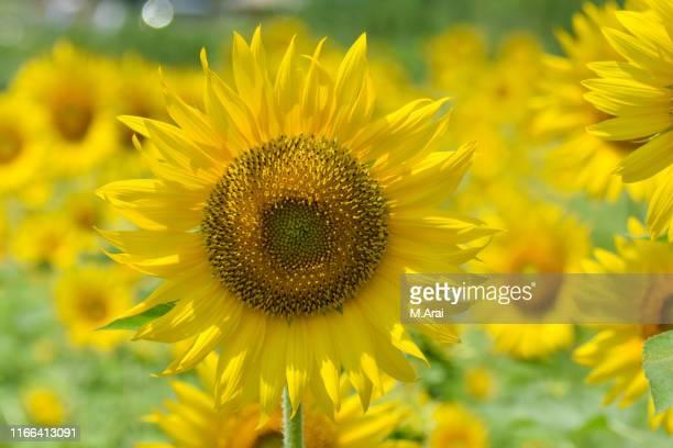 sunflower field of hasuda - 八月 ストックフォトと画像