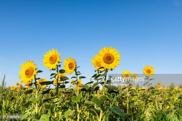 sunflower, field of sunflowers against blue summer sky - girasoli foto e immagini stock