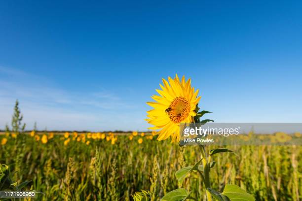 sunflower, field of sunflowers against blue summer sky - crop stock pictures, royalty-free photos & images