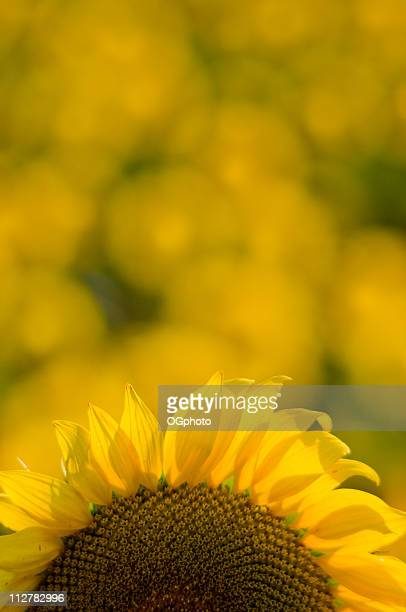sunflower field - ogphoto stock pictures, royalty-free photos & images