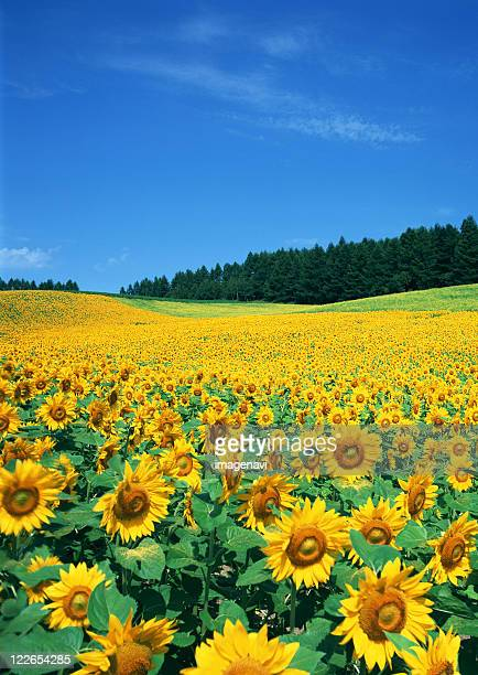 sunflower field - hokkaido stock pictures, royalty-free photos & images