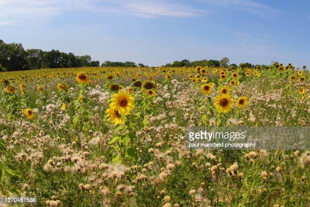 "sunflower field - ""paul mansfield photography"" stock pictures, royalty-free photos & images"