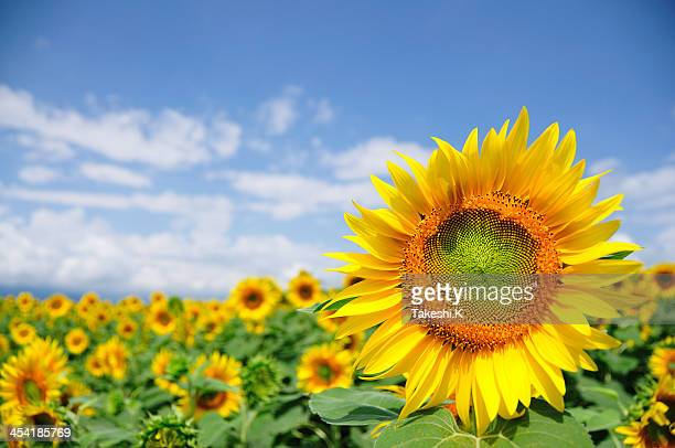 sunflower field - girasoli foto e immagini stock