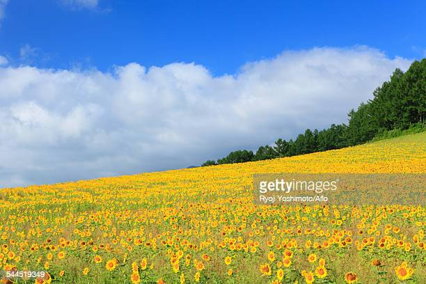 sunflower field - 八月 ストックフォトと画像
