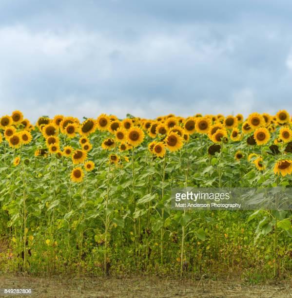 Sunflower Field #12