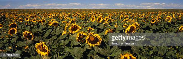 sunflower field ready for harvest - timothy hearsum bildbanksfoton och bilder