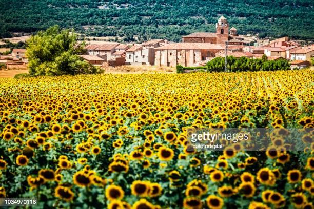 solros fält med gamla byn på bakgrunden - castilla y león bildbanksfoton och bilder