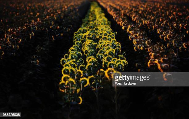 sunflower field, yolo county, california, usa - yolo stock-fotos und bilder