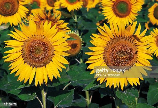 Sunflower fields around Troy Puglia Italy