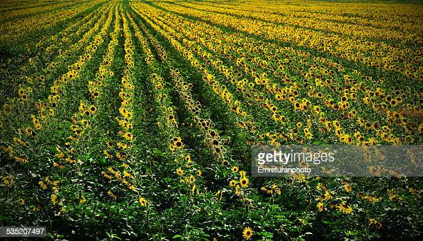sunflower fields in august - emreturanphoto stock pictures, royalty-free photos & images