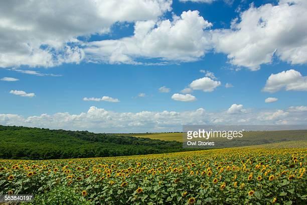 Sunflower fields in the summer