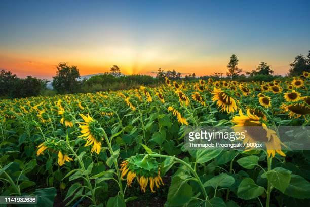 sunflower fields in warm evening - orange farm - fotografias e filmes do acervo