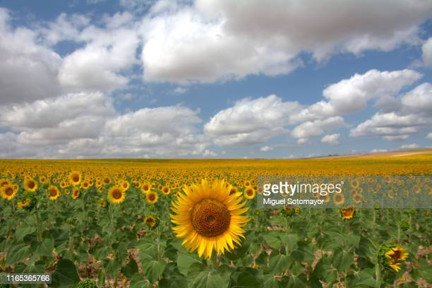 sunflower fields - castilla y león bildbanksfoton och bilder
