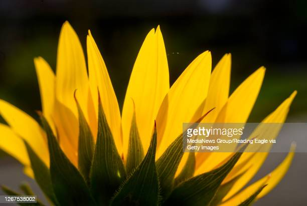 A sunflower flower blossom is backlight with sunlight in West Reading PA Friday morning August 21 2020