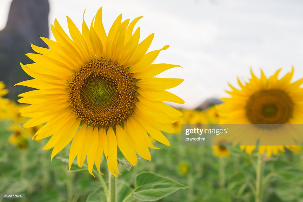 Sunflower full bloom : Stock Photo