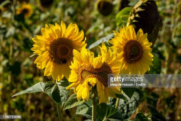 a sunflower growing abnormally but looking like a face - pareidolia stock pictures, royalty-free photos & images