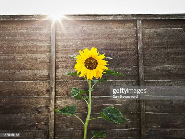 Sunflower growing by wooden wall