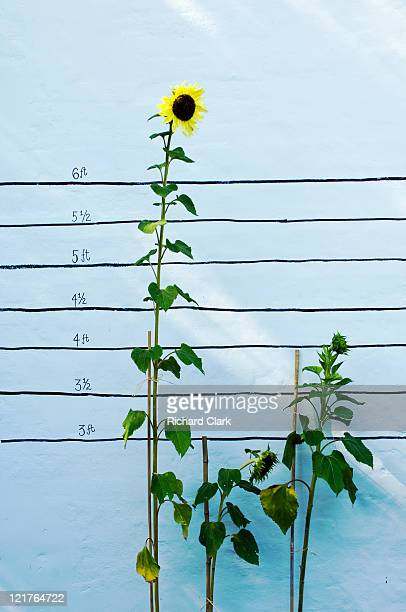 Sunflower (Helianthus annuus) growing competition, August
