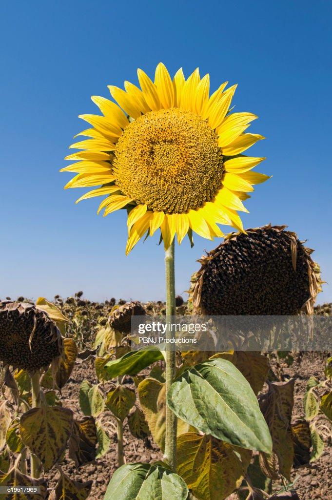 Sunflower Growing In Field Of Dead Flowers Stock Photo