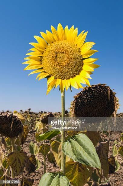 Sunflower growing in field of dead flowers