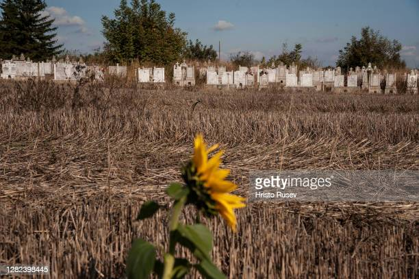 Sunflower grows in the field in front of the old graveyard of Kutovo village on October 26, 2020 in Vidin, Bulgaria. The northwest region of Bulgaria...