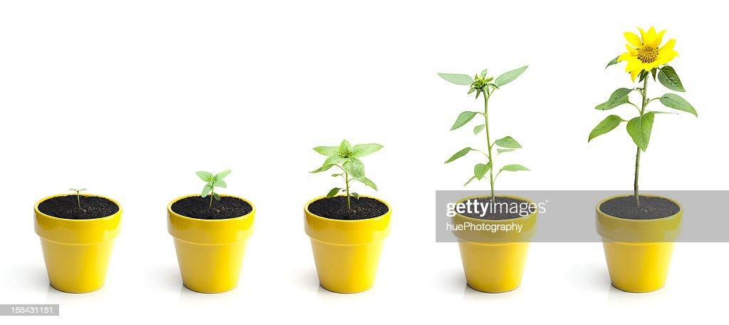サンフラワー成長率 : ストックフォト