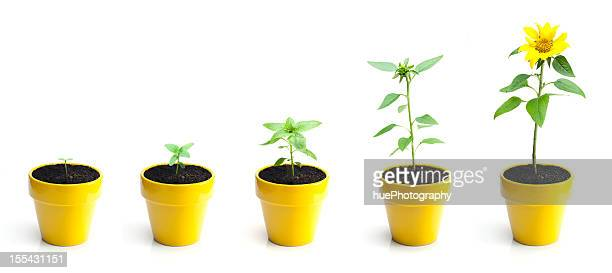 sunflower growth - pot plant stock pictures, royalty-free photos & images