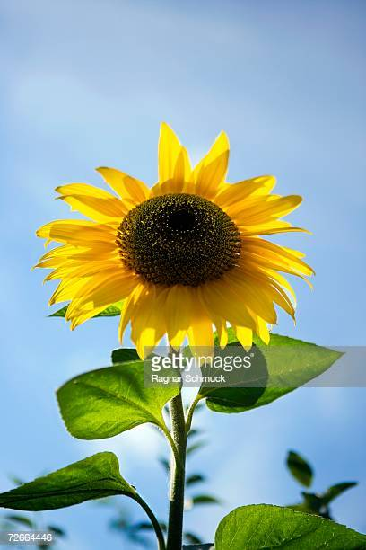 sunflower head - helianthus stock photos and pictures