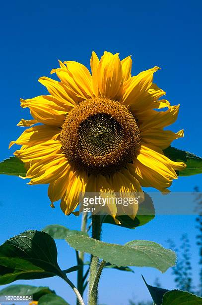 Sunflower Helianthus annus known as the common sunflower