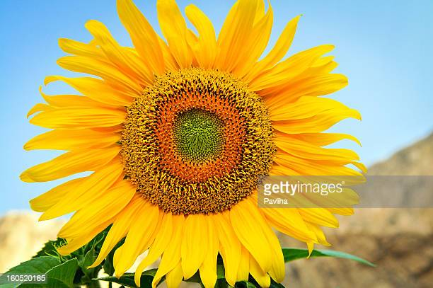 sunflower helianthus annuus against blue sky - pavliha stock photos and pictures